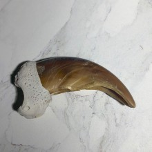 Grizzly Bear Claw For Sale #23765 - The Taxidermy Store