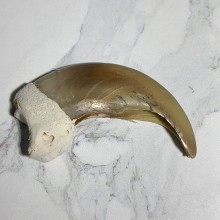 Grizzly Bear Claw Taxidermy For Sale