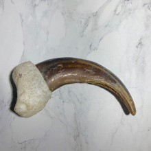 Grizzly Bear Claw For Sale #23774 - The Taxidermy Store