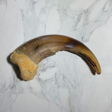 Grizzly Bear Claw For Sale #23777 - The Taxidermy Store