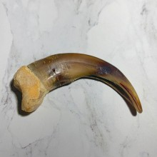 Grizzly Bear Claw For Sale #23779 - The Taxidermy Store