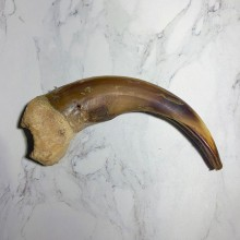 Grizzly Bear Claw For Sale #23780 - The Taxidermy Store