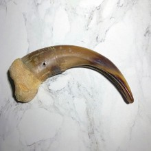 Grizzly Bear Claw For Sale #23781 - The Taxidermy Store