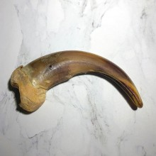 Grizzly Bear Claw For Sale #23784 - The Taxidermy Store