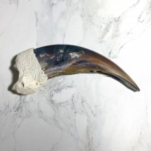 Grizzly Bear Claw For Sale #23786 @ The Taxidermy Store