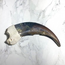 Grizzly Bear Claw For Sale #23787 @ The Taxidermy Store