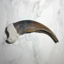Grizzly Bear Claw For Sale #23788 @ The Taxidermy Store