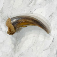 Grizzly Bear Claw For Sale #24888 - The Taxidermy Store