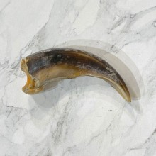 Grizzly Bear Claw For Sale #24891 - The Taxidermy Store