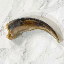 Grizzly Bear Claw For Sale #24892 - The Taxidermy Store