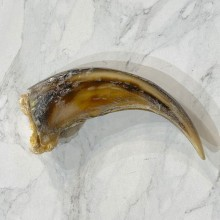 Grizzly Bear Claw For Sale #24894 - The Taxidermy Store