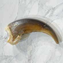 Grizzly Bear Claw For Sale #24896 - The Taxidermy Store