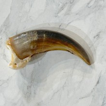 Grizzly Bear Claw For Sale #24897 - The Taxidermy Store