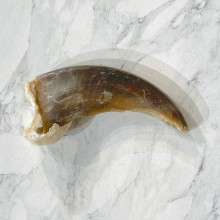 Grizzly Bear Claw For Sale #24898 - The Taxidermy Store