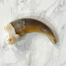 Grizzly Bear Claw For Sale #24899 - The Taxidermy Store