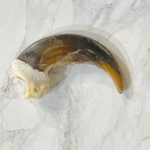 Grizzly Bear Claw For Sale #24900 - The Taxidermy Store