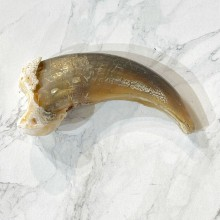 Grizzly Bear Claw For Sale #24901 - The Taxidermy Store