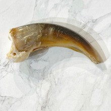 Grizzly Bear Claw For Sale #24902 - The Taxidermy Store