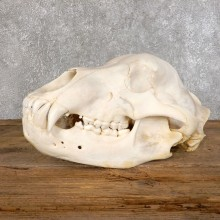 Inland Grizzly Bear Skull Mount For Sale #18551@ The Taxidermy Store