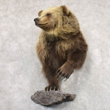 Grizzly Bear Half Life-Size Mount For Sale #22347 @ The Taxidermy Store