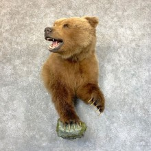 Grizzly Bear Half Life-Size Taxidermy Mount For Sale