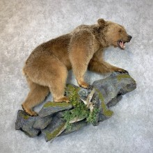 Grizzly Bear Life-Size Mount For Sale #23662 @ The Taxidermy Store