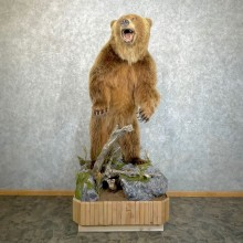 Alaskan Grizzly Bear Life-Size Taxidermy Mount For Sale