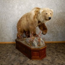 Brown Bear Life-Size Mount #19914 For Sale @ The Taxidermy Store