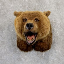 Grizzly Bear Shoulder Mount For Sale #18984 @ The Taxidermy Store