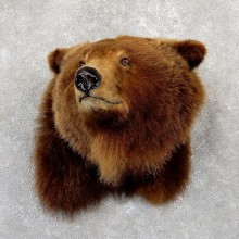 Grizzly Bear Shoulder Mount For Sale #19341 @ The Taxidermy Store