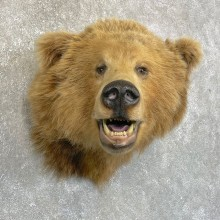 Grizzly Bear Shoulder Mount For Sale #24244 @ The Taxidermy Store