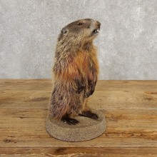 Groundhog Life-Size Mount For Sale #20256 @ The Taxidermy Store
