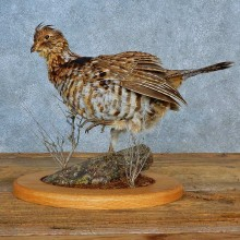 Ruffed Grouse Bird Mount For Sale #15566 @ The Taxidermy Store