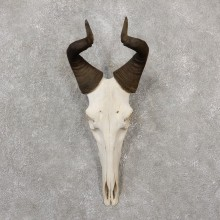 Hartebeest Skull & Horn European Mount For Sale #19239 @ The Taxidermy Store