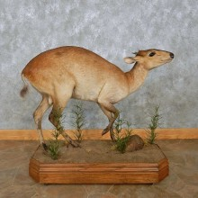 Harvey Red Duiker Life-Size Mount For Sale #15088 @ The Taxidermy Store