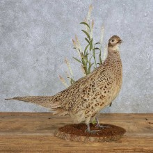 Ringneck Pheasant Hen Bird Mount For Sale #14884 @ The Taxidermy Store