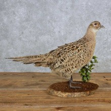 Ringneck Pheasant Hen Bird Mount For Sale #14885 @ The Taxidermy Store