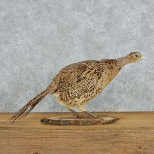 Ringneck Hen Pheasant Life-Size Taxidermy Mount #13055 For Sale @ The Taxidermy Store