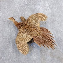 Hen Pheasant Bird Mount For Sale #18696 @ The Taxidermy Store