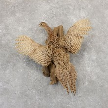 Hen Pheasant Bird Mount For Sale #18920 @ The Taxidermy Store