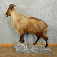 Himalayan Tahr Shoulder Mount For Sale #16038 @ The Taxidermy Store