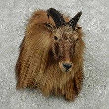 Himalayan Tahr Shoulder Mount #13812 For Sale @ The Taxidermy Store