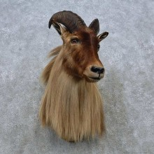 Himalayan Tahr Shoulder Mount For Sale #15037 @ The Taxidermy Store