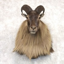 Himalayan Tahr Taxidermy Shoulder Mount #22524 For Sale @ The Taxidermy Store