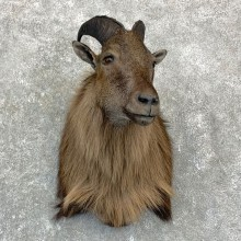 Himalayan Tahr Taxidermy Shoulder Mount #23140 For Sale @ The Taxidermy Store