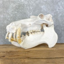 Hippopotamus Full Skull Mount For Sale #23962 @ The Taxidermy Store