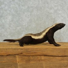 Honey Badger Life-Size Mount For Sale #16555 @ The Taxidermy Store