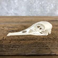 Hooded Merganser Duck Skull For Sale #19831 @ The Taxidermy Store