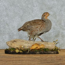 Hungarian Grey Partridge Taxidermy Mount #12969 For Sale @ The Taxidermy Store