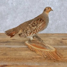 Standing Hungarian Partridge Mount For Sale #14831 @ The Taxidermy Store